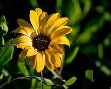 Fiore Giallo.jpg