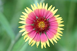 Firewheel or Indian Blanket with a Spider at the back.jpg