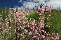 Flattops Flowers (6154238623).jpg