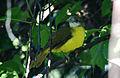 Flavescent Bulbul Pycnonotus flavescens by Dr. Raju Kasambe (4).JPG