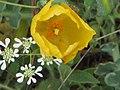 Fleur jaune et fleurs blanches.jpg