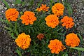 Fleurs orangées (29841129883).jpg