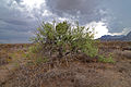 Flickr - ggallice - Desert bush.jpg