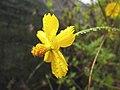 Flor amarela (Cosmos sulphureus).jpg
