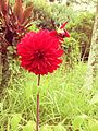 Flor vermelha - Parque Cemucam.JPG