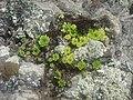 Floricele de munte - panoramio.jpg