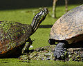 Florida Redbelly Turtle (Pseudemys nelsoni).jpg