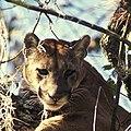 Florida panther, Florida Panther National Wildlife Refuge (5585350714).jpg
