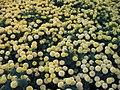 Flower Beds, BYU-Idaho, Rexburg, Idaho (1133457552).jpg