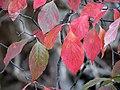Flowering Dogwood (30891443606).jpg