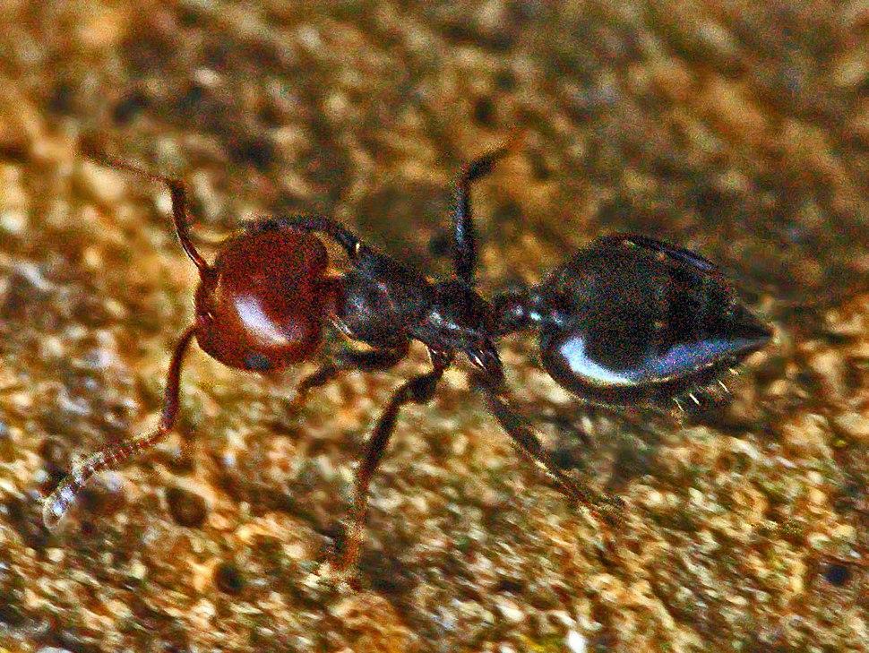 Formicidae - Crematogaster scutellaris-001