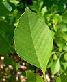 Fraxinus velutina 3.jpg