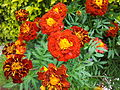 French Marigold from Lalbagh Flowershow - August 2012 095910.jpg