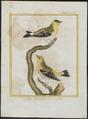 Fringilla tristis - 1700-1880 - Print - Iconographia Zoologica - Special Collections University of Amsterdam - UBA01 IZ16000033.tif