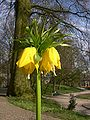 Fritillaria imperialis detail.jpg