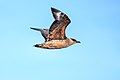 From Cape horn through the Beagle Channel to Ushuaia, Argentina, Chilean Skua (Catharacta chilensis) (25921347421).jpg