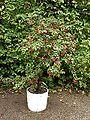 Fuchsia magellanica1.jpg