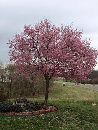 Loudoun Valley Estates, Virginia - Image: Full Bloom!