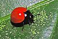 Fungus Beetle (Aegithus clavicornis) (6788207237).jpg