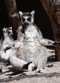 Funny Lemur.jpg