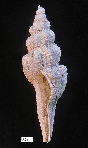 Fusinus - Fusinus sp. from the Pliocene of Cyprus.