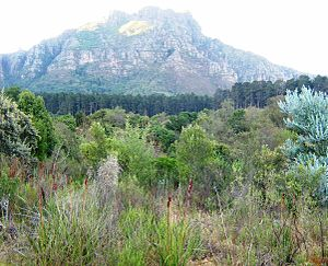 Newlands Forest - Image: Fynbos enclave surrounded by Pine plantations Newlands Forest Cape Town 7