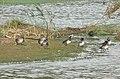 Gadwall ducks on Rutland Water - geograph.org.uk - 246319.jpg