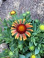 Gaillardia-arizona-red-shades-2726.jpg