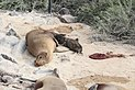 Galápagos sea lions, Santa Fe Island 02.jpg