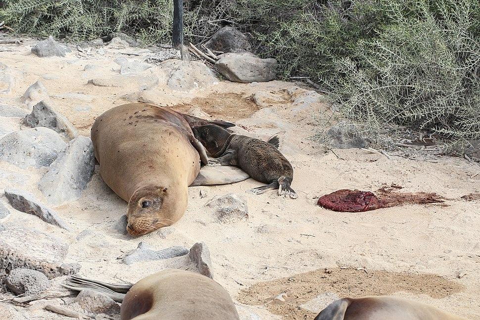 Galápagos sea lions, Santa Fe Island 02