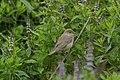 Garden Warbler (Sylvia borin), Skaw - geograph.org.uk - 667386.jpg