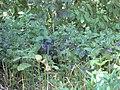 Gardenology.org-IMG 2377 hunt08sep.jpg