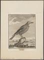 Garrulus glandarius - 1700-1880 - Print - Iconographia Zoologica - Special Collections University of Amsterdam - UBA01 IZ15700013.tif