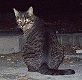 Gato callejero en Madrid 13.jpg