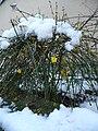 Gelbe Blüten im Schnee.JPG