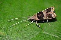Gelechiid Moth (Coydalla interguttella) (23316967570).jpg