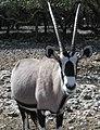 Gemsbok Oryx (cropped).jpg