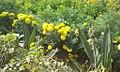 Gendu phula.jpg