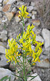 Genista sibirica (flowers) 1.jpg