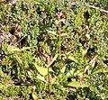 Gentiana purpurea gaustad IMG 0435.JPG