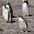 Gentoo Penguin chicks on Saunders Island (5556994443).jpg