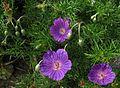 Geranium incanum 9159s.jpg