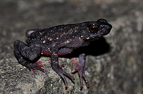 Ghatophryne ornata or Malabar Torrent Toad.jpg