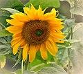 Giant Sunflower (113388021).jpeg