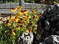 Giardino botanico alpino Viote - Gaillardia aristata1.jpg