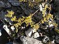 Giardino botanico alpino Viote - Galium verum.jpg