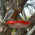 Gila Woodpecker drinking water.jpg