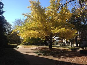 Birmingham–Southern College - Ginkgo Tree by Munger Hall