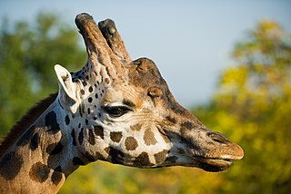 Northern giraffe proposed species of giraffe native to North Africa