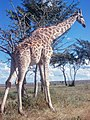 Giraffe (11340473156).jpg